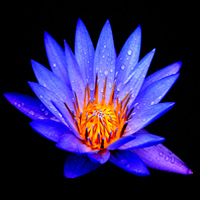Egyptian water lily nymphaea caerulea liquid extract blue lotus flower mightylinksfo